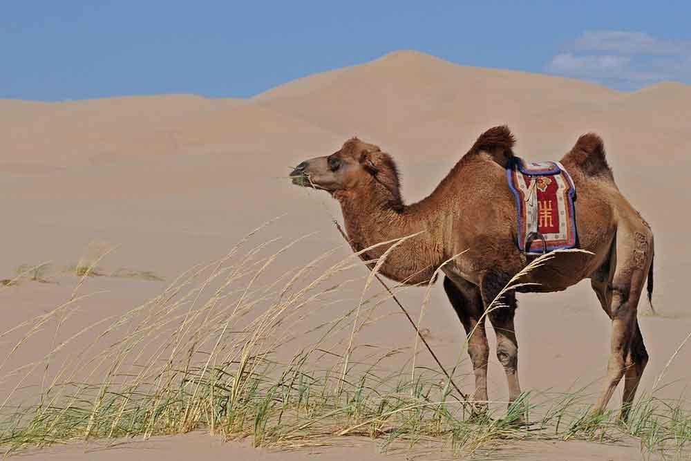 monture dans le désert